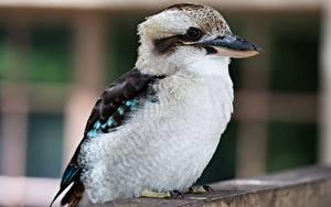 Hintergrundbilder Vögel Großansicht Bokeh Kookaburra