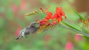 Fotos Vogel Kolibris Unscharfer Hintergrund ein Tier