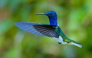 Fotos Vogel Kolibris Flügel Blau Flug ein Tier