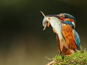 Hintergrundbilder Vögel Eisvogel Fische Schnabel ein Tier