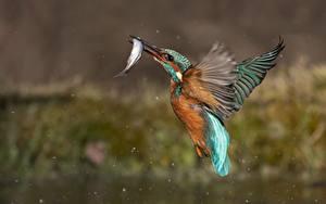 Bilder Vögel Eisvogel Fische Jagd Flug ein Tier