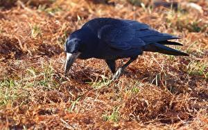 Hintergrundbilder Vögel Krähen Gras