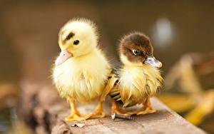 Hintergrundbilder Vögel Entenvögel Jungtiere 2