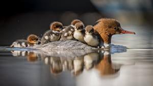 Fotos Vögel Entenvögel Kücken Wasser