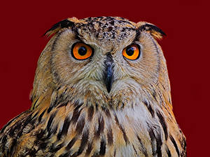 Desktop hintergrundbilder Vogel Uhu Farbigen hintergrund Schnauze Schnabel Eagle Owl Tiere