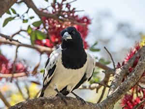 Fotos Vögel Die Elster Ast Bokeh Blick ein Tier