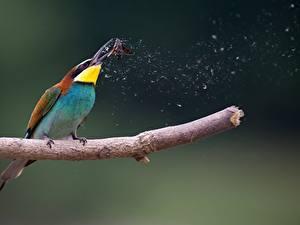Hintergrundbilder Vogel Ast Jagd European bee-eater, Moth ein Tier