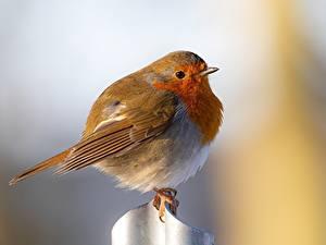 Desktop hintergrundbilder Vogel Bokeh European robin ein Tier