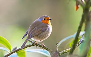 Fotos Vogel Unscharfer Hintergrund Ast European robin ein Tier