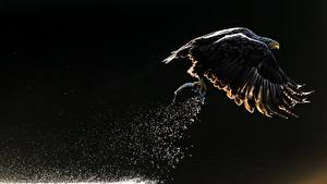 Fotos Vögel Fischerei Adler Flug Jagd Weißkopfseeadler Wasser spritzt ein Tier