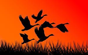 Bilder Vogel Gänse Vektorgrafik Silhouetten Flug ein Tier