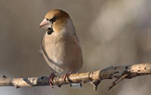 Hintergrundbilder Vogel Ast Bokeh Hawfinch
