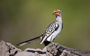 Hintergrundbilder Vogel Schnabel Bokeh Hornbill ein Tier