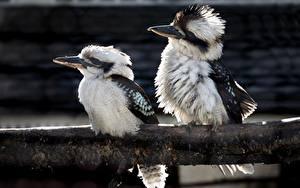 Photo Bird Two Kookaburras Animals