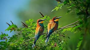 Fotos Vogel 2 Ast Blatt Merops apiaster Tiere