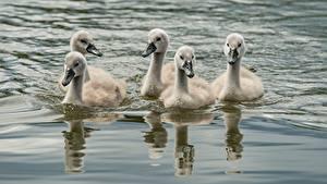 Hintergrundbilder Vogel Kücken Wasser Schwäne Schwimmen