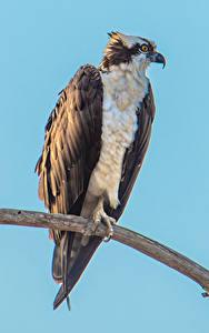 Bilder Vögel Farbigen hintergrund Ast Osprey