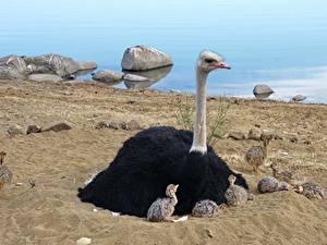 Bilder Vogel Strauß Kücken Sand Sitzt ein Tier