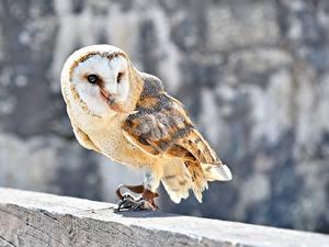 Fotos Vögel Eule Unscharfer Hintergrund Common Barn Owl ein Tier