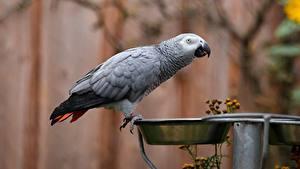 Bilder Vogel Papagei Graue Schüssel Grey parrot ein Tier