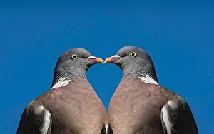Fotos Vogel Tauben Farbigen hintergrund Zwei Schnabel Tiere