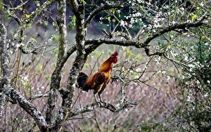 Fotos Vögel Hahn Ast Tiere