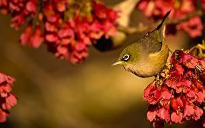 Hintergrundbilder Vögel Silvereye