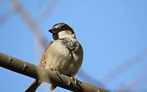 Fotos Vögel Sperlinge Ast Tiere