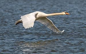 Hintergrundbilder Vogel Schwäne Flug Weiß Tiere
