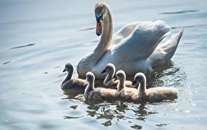 Fotos Vögel Schwäne Kücken Wasser