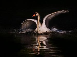 Hintergrundbilder Vogel Schwäne Nacht Weiß