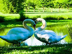 Bilder Vögel Schwäne 2 Gras Weiß Herz ein Tier