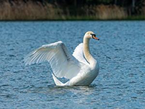 Fotos Vogel Schwan Wasser Weiß Tiere