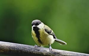 Fotos Vögel Parus Unscharfer Hintergrund