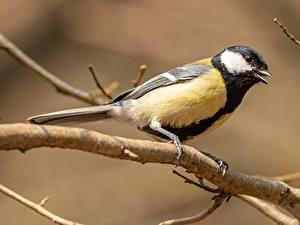Hintergrundbilder Vögel Meise Ast ein Tier