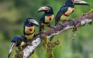 Photo Birds Toucans Branches Four 4 Collared aracari Animals