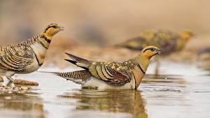 Bilder Vogel Wasser Unscharfer Hintergrund Perdix ein Tier