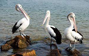 Image Bird Water Stones Pelicans Three 3 animal