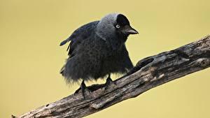 Hintergrundbilder Vogel Ast Western jackdaw ein Tier