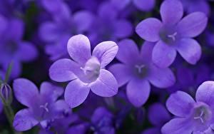 Bilder Bokeh Violett Glocke Blüte