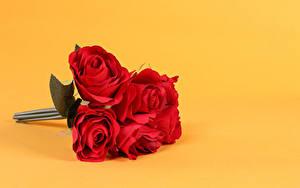 Bilder Sträuße Rosen Farbigen hintergrund Rot Blüte