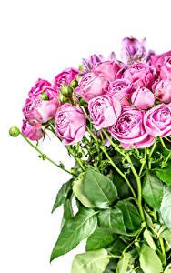 Fotos Sträuße Rose Weißer hintergrund Blütenknospe Rosa Farbe Blumen