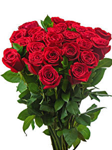 Fotos Sträuße Rosen Weißer hintergrund Rot Blumen