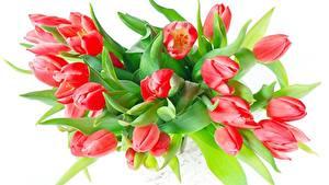 Hintergrundbilder Blumensträuße Tulpen Weißer hintergrund Rot