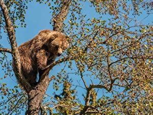 Hintergrundbilder Ein Bär Braunbär Ast Bäume Tiere