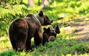 Fotos Bären Braunbär Jungtiere