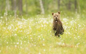 Hintergrundbilder Bären Braunbär Jungtiere Grünland