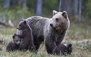 Hintergrundbilder Bären Braunbär Jungtiere