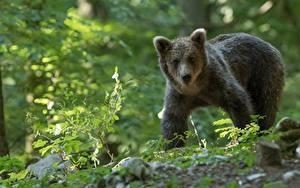 Bilder Bären Braunbär Jungtiere Blick Tiere