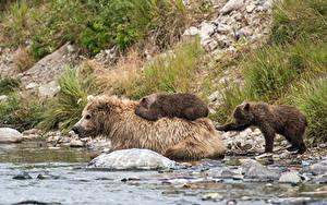Hintergrundbilder Bären Braunbär Jungtiere Flusse Wasser